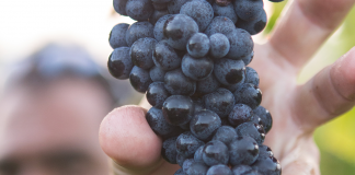 Best Grapes for Making Wine