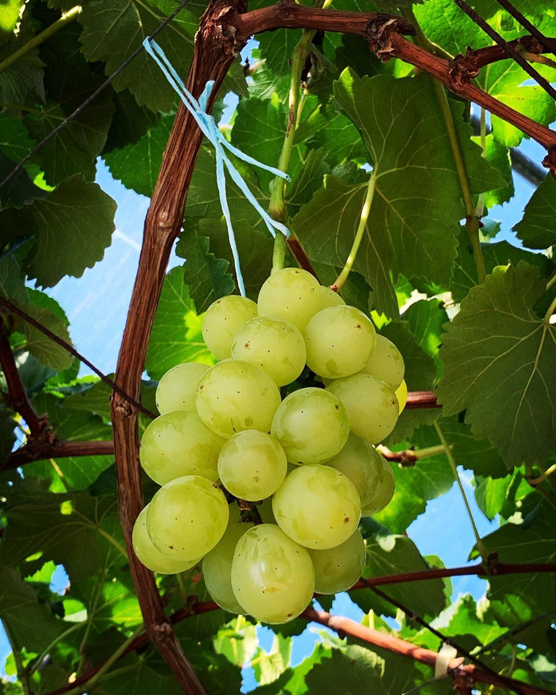Wine Grape Harvest Season For Newbies