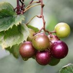How To Make Delicious Muscadine Wine At Home