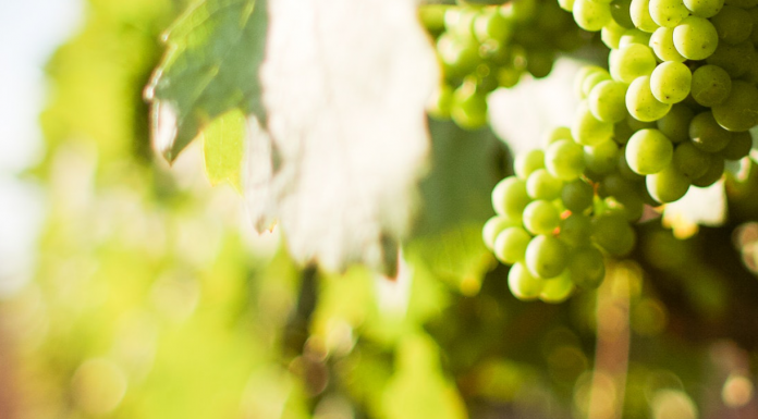 Wine Grape Harvest Season For Newbies